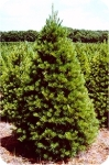 Buy Eastern White