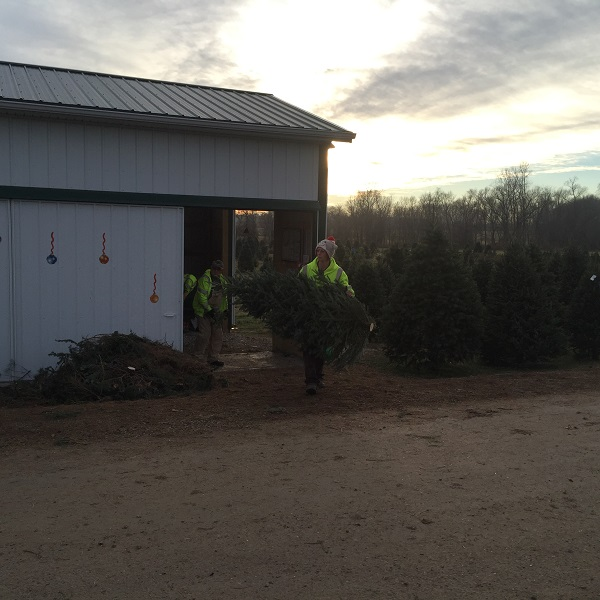 kleerview farm christmas trees