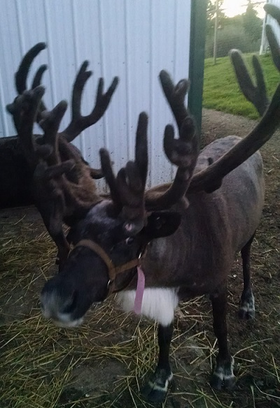 reindeer kleerview farm