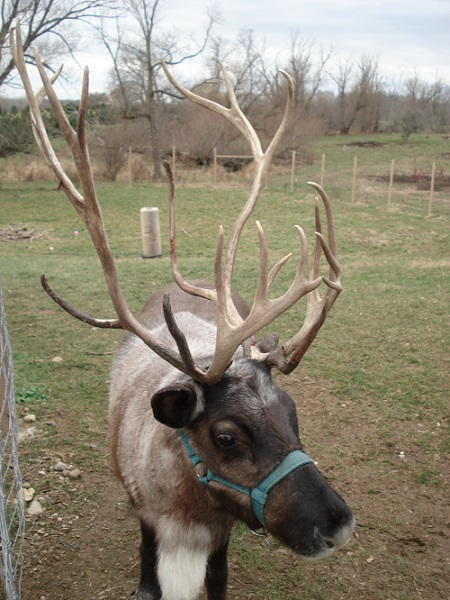 reindeer christmas kleerview farm ohio