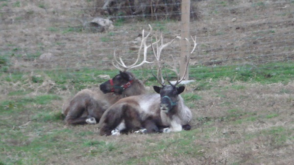reindeer kleerview farm bellville ohio christmas