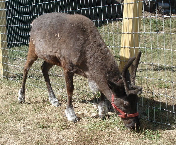 reindeer at kleerview farm