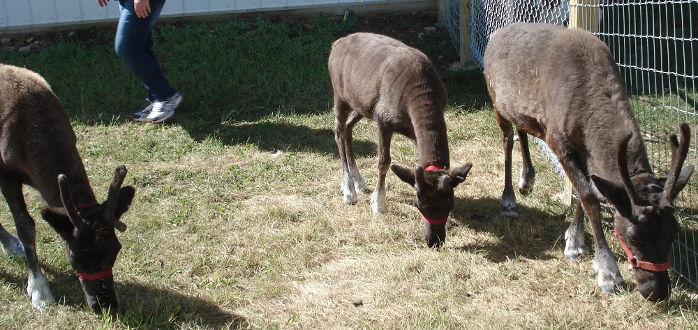 three reindeer at kleerview farm