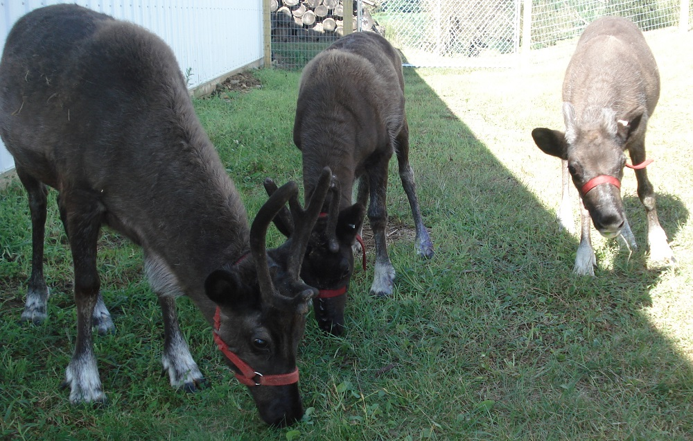 kleerview farm reindeer